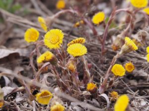 Close-up of yellow dandelion-like flower in early spring.