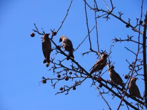 Initial shot of Bohemian waxwings overhead in tree
