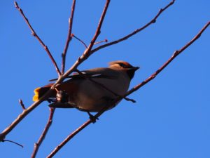 Bohemian waxwing fron underneath; blue sky in background
