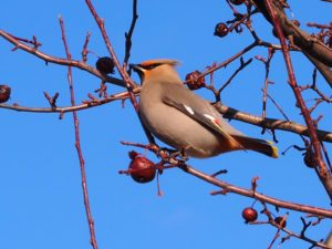 Bohemian waxwing in full light, in tree