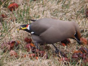 Bohemian waxwing feeding on lawn