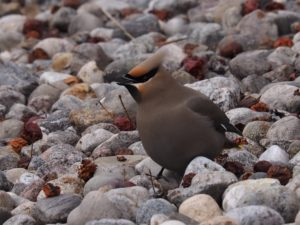 Bohemian waxwing feeding on rocky ground.