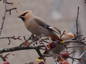Close-up of two Bohemian waxwings