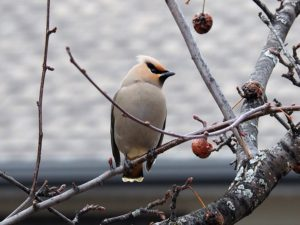 Single Bohemian waxwing; blurred background.