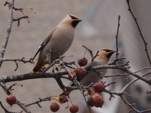 Close-up of two Bohemian waxwings; blurred background.