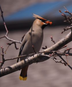Bohemian waxwing with dired crabapple