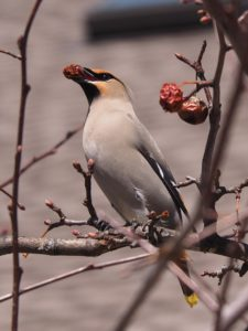 Bohemian waxwing with dried crabapple