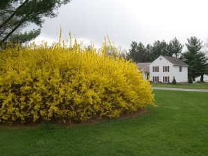 Bright yellow forsythia in full bloom.