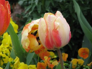 Close-up of variegated tulips in bed of mixed flowers.