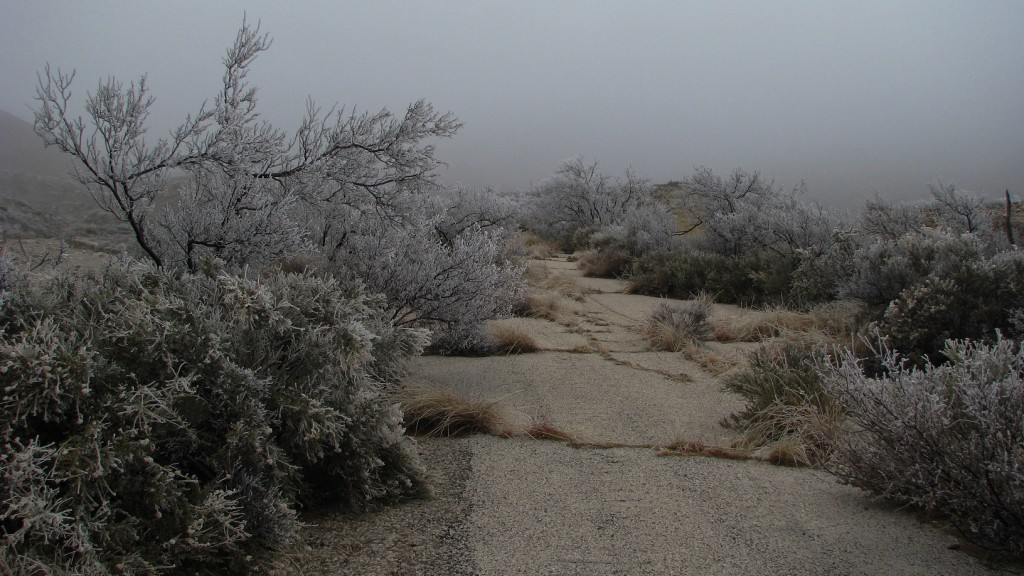 Desert vegetation covered in ice