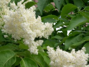 Close-up of white lilac florets.