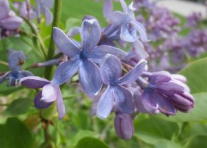 Florets of purple-blue lilac