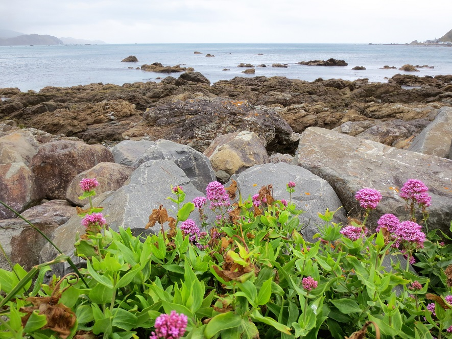 Ground-level view of rocky shore near Wellington, NZ; purple flowers in foreground.