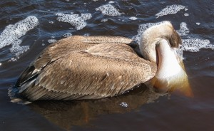 Brown pelican feeding, with neck pouch extended.