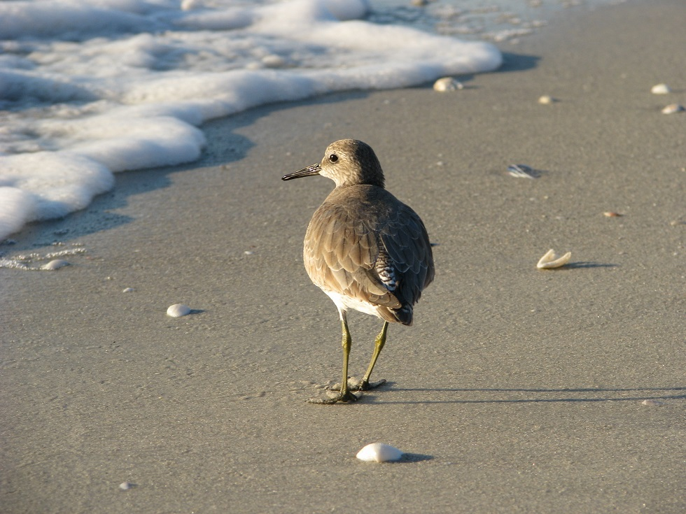 Shorebird on the beach, in drab winter plumage.