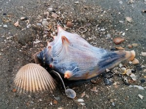 Blue knobbed whelk embedded in sand