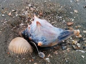 Blue knobbed whelk embedded in sand