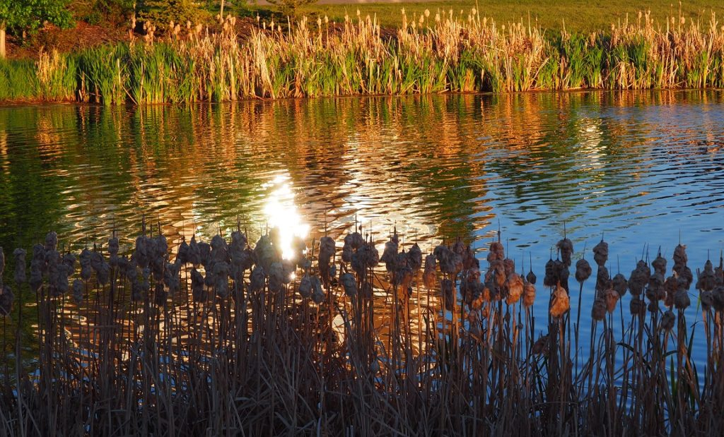 Pond withlate afternoon light; cattails in foreground and background.