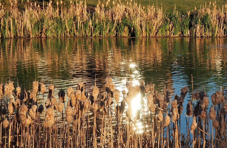 Prairie pond in late-afternoon light; cattails in foreground and background.
