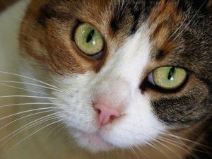 Close-up of tortoiseshell cat.