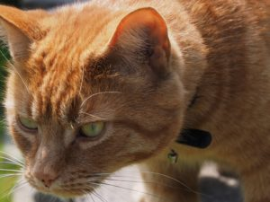 Ginger cat looking intently at something off stage.