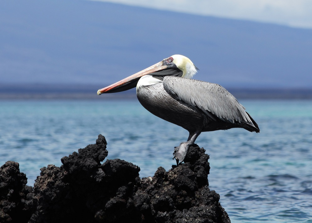 Pelican perched on lava outcropping in harbour.