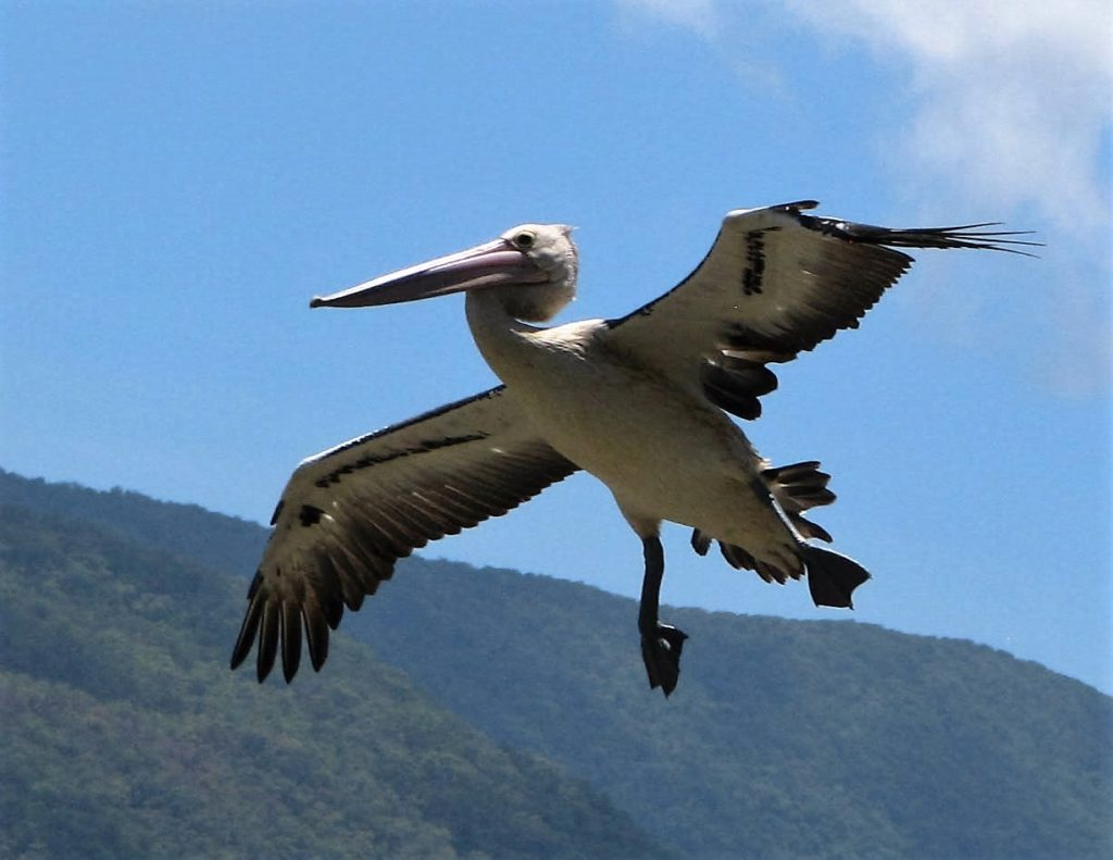 Pelican in final approach to a water landing; wings and feet spread wide.