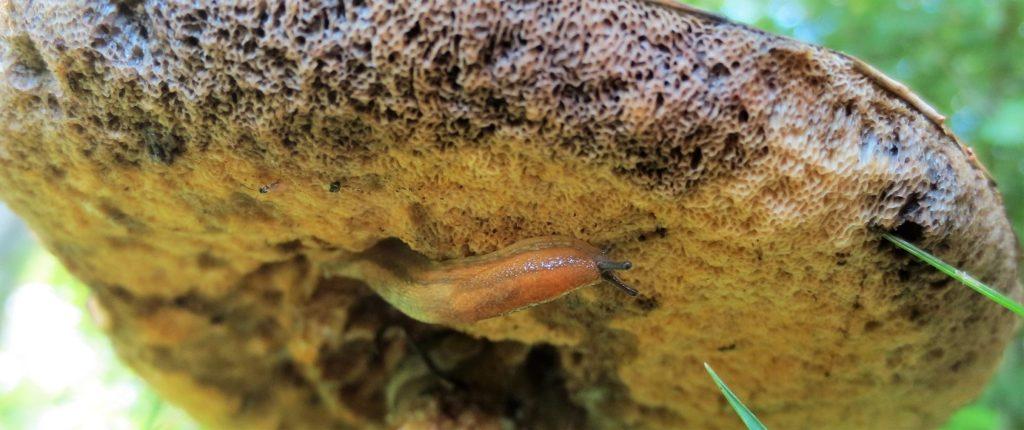 Slug on underside of mushroom