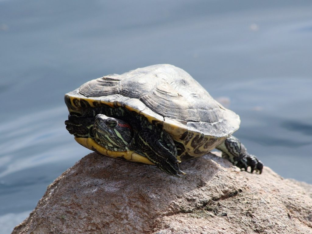 Turtle perched on rock.
