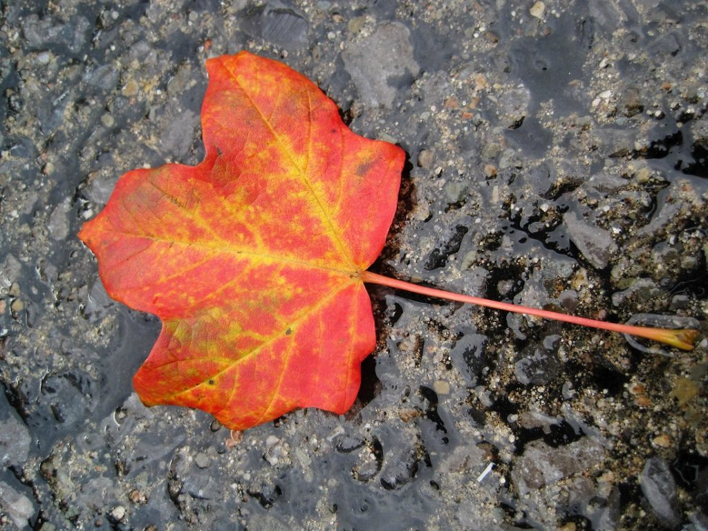 Maple leaf in fall colours on wet sidewalk.