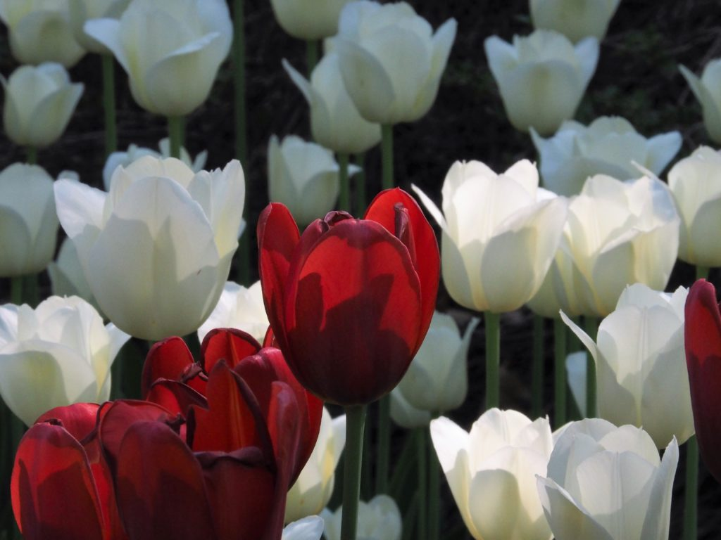 Blossom-level view of red and white tulips
