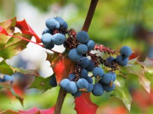 Blue berries in background; blurred background