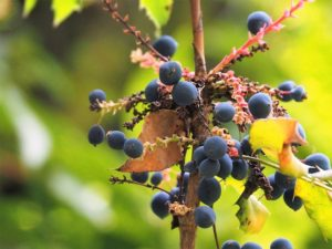 Blue berries in close-up; blurred background.