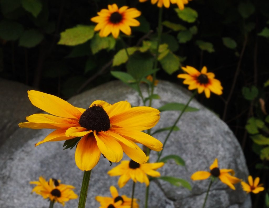 Brown-eyed susans in rock garden