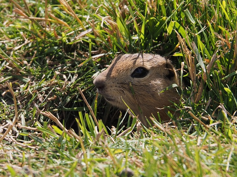 Richardson's ground squirrel poking head out of hole