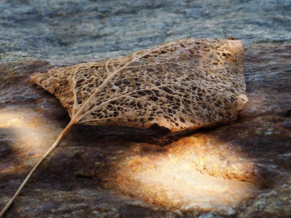 Skeletal leaf on granite boulder