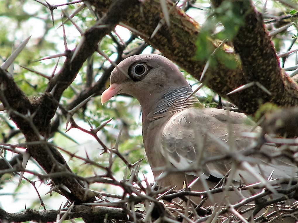 Bare-eyed pigeon sitting in tree with thorns