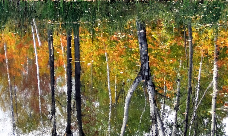 Impressionistic reflection of birch trees in pond.