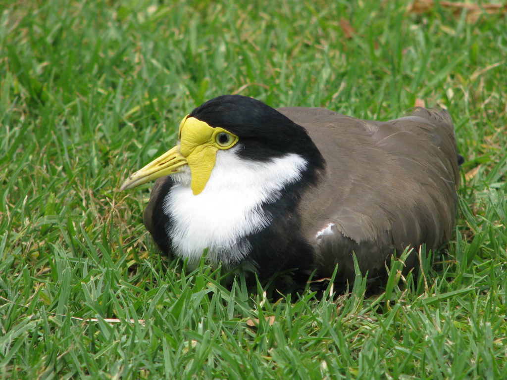 Masked lapwing sitting on ground