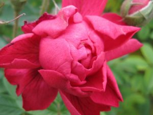 Close-up of red rose, just opening.