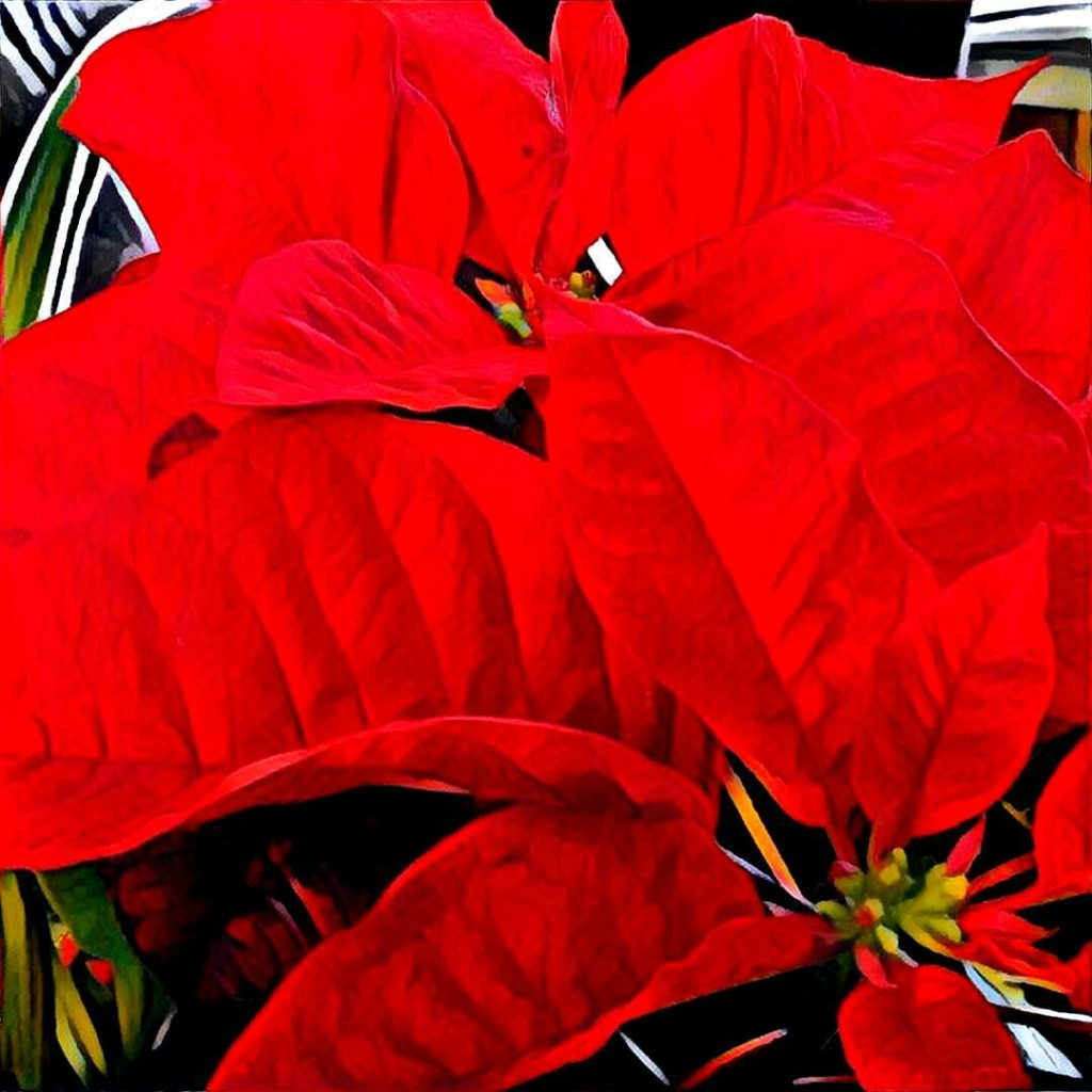 Close-up of red poinsettia.