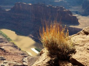Viewpoint for Colorado River with sunlit shrub in foreground