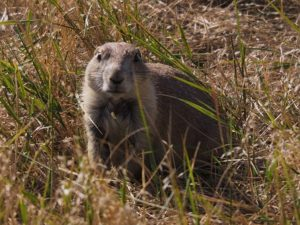 Prairie dog looking at camera as if startled