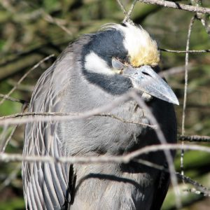 Yellow-crowned night heron, eyes closed to a slit