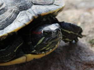 Turtle with necked pulled into shell