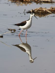 Reflection of black-necked stilt wading in still pond.