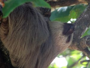 Sloth hanging from tree branch