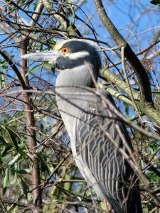 Yellow-crowned night heron sitting upright and alert.