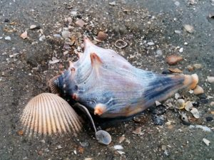 Whelk and shell scatter on sandy beach.