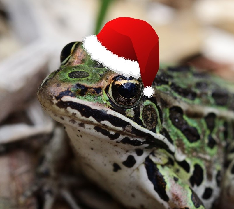 Leopard frog in Santa hat